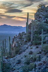 Saguaro Blue (Kirk Lougheed) Tags: arizona carnegieagigantea cylindropuntiabigelovii gatespass pimacounty sonorandesert tucsonmountainpark usa unitedstates cactus cholla desert landscape outdoor plant saguaro sonoran teddybearcholla