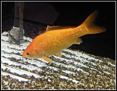A Goldfish In Aquarium At Hong & Kong's Restaurant - Photo by STEVEN CHATEAUNEUF - May 27, 2017 (snc145) Tags: aquarium fish water gravel photo orange black white brown editedimage may272017 may282017 stevenchateauneuf vividstriking flickrunitedaward autofocus