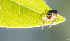 Face à face avec une saltique. (gille33) Tags: gillesremus nature macro insecte insect insectes araneae arachnide araignee araignée saltique salticidae nikond810 sigma150