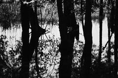 walk about Harris Lake 39 (furrycelt) Tags: harrislake newhillnc nikon85mmf14afd nikon85mmf14 northcarolina shearonharrisreservoir blackandwhite ianwilson jianwilson photographersoftumblr 85mm d600 nikon forest furrycelt lake lensblr monochrome natural nature reflection shadow silhouette trees water woods
