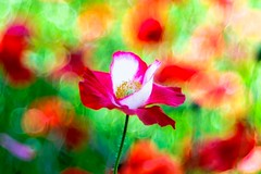 Poppy (Hideo N) Tags: fantasticflower nature poppy flower xt1 trioplan bokeh