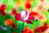 Poppy (Hideo N) Tags: fantasticflower nature poppy flower xt1 trioplan bokeh