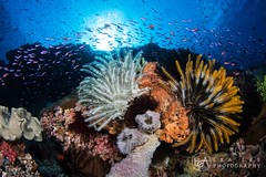 (Lea's UW Photography) Tags: lealee underwater indonesia canon5dmk3 subal canonef815mm fisheye featherstar reef corals