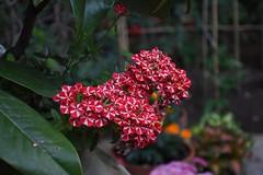 Red and White Flowers (francescoartuso) Tags: fiori fiore fiorellini rossi bianchi vaso giardino natura