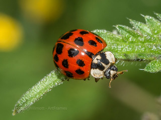 harlequin ladybird - harmonia axyridis succinea