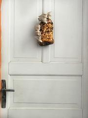Cogumelos Shimeji Branco - Mushroom - (Pleurotus ostreatus) (Valter França) Tags: pleurotus pleurotusostreatus cogumelo comestível shimeji branco papelão farelo fungi fungo