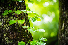 After the Rain (moaan) Tags: kobe hyogo japan jp reaf green greenleaves wet tree trunk bokeh bokehphotography dof utata 2017 leica mp leicamp noctilux 50mm f10 leicanoctilux50mmf10