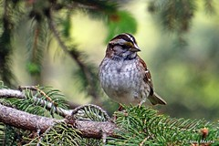 White-throated Sparrow (Anne Ahearne) Tags: nature wildlife animal bird birds spruce tree whitethroated sparrow