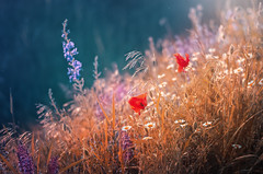 Summer (Pásztor András) Tags: nature summer poppy flower grass red yellow blue alternate colors sun lights 50mm 18g dslr nikon d5100 hungary andras pasztor photography 2017
