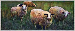 Dyed in the Wool (Beaches Marley.....iPad art) Tags: sheep coloured wool bayfield farm ontario huron