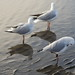 Sea Gulls  at Sandgate (7)