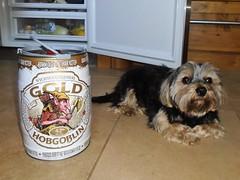 Flo Yorkie Poo Dog Guarding the Hobgoblin Beer (@oakhamuk) Tags: flo yorkiepoo dog guarding hobgoblinbeer