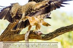 DSC01106 copy (naturephotographywildlife) Tags: kruger wildlife scenery animals birdlife a99ii africa park tawny eagle birds