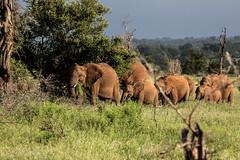 elephants, Kruger Park Ehlanzeni, Mpumalanga (larschristerjageland) Tags: afrika sydafrika krugerpark mpumalanga za elephants