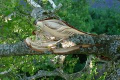 Betula (arborist.ch) Tags: arborist arboriculture baumpflege baum baumklettern treeclimbing