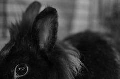 NOOB 3 (EL JOKER) Tags: rabbit lapin cony les allummers prod gimp nikon d7000 afs dx nikkor 35mm f18g noir et blanc black white 2017 linux potrait photo photographie photography png cc by nc nd creative commons animal pet geek noob portrait