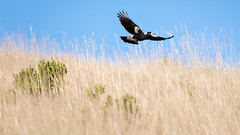 Fly (Florian Christoph) Tags: bird fly animal wildlife ngc lightroom nature australia