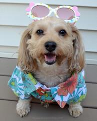 Summer is Here! (yourdesignerdog) Tags: ifttt wordpress all posts wordless wednesday blog celebrate cute designer dogs dog shirt smiling sunglasses hawaiian shades summer tongue out