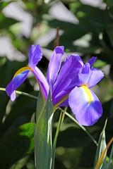Purple Iris (mariewise) Tags: garden summer flower blooming spring beautiful kalama washington pink purple orange iris peony