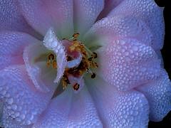 DELICATE DROPS (Lani Elliott) Tags: nature naturephotography flower flowers rose lanielliott pink soft delicate drops droplets waterdroplets morningdew macro upclose close closeup macrounlimited wow gorgeous brilliant beautiful