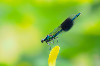Calopteryx splendens.....