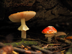"Amanita • <a style=""font-size:0.8em;"" href=""http://www.flickr.com/photos/44919156@N00/34662867661/"" target=""_blank"">View on Flickr</a>"