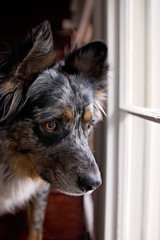 20/52 Weeks of Finn {Explore 5/22/2017} (Raquel Robison) Tags: 52weeksfordogs 52weekoffinn texasheeler dogs finn portrait