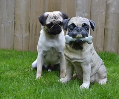 Happy Birthday Boo Lefou! (DaPuglet) Tags: sunrays5 pug pugs statue dog dogs animal animals birthday cute pugstatue coth alittlebeauty coth5 clydesfriends