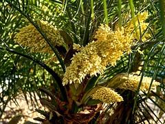Palm Flowers (akfoto) Tags: palm flower
