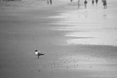 Seagull B&W (NickBouton802) Tags: beach nikon nikonusa new nature sun sunset texture turtle sand delaware bethany bw black white fence volleyball shed shells ocean water warm vacation macrophotography macro helicoptor fly flying rocks splashing splash crab bird
