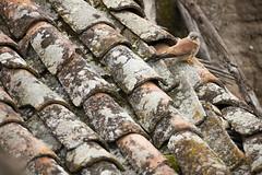 Lesser Kestrel (Daniel Trim) Tags: calera y chozas spain spanish plains extramadura lesser kestrel pantiles old buidling falco naumanni