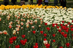 2017 Ottawa Tulip Festival 038 (Chrisser) Tags: flowers tulips tulipfestivals tulipfestival liliaceae nature ottawa ontario canada canoneosrebelt6i canonefs1855mmf3556isstmlens travel