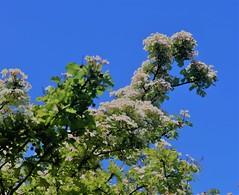 flowering tree (joybidge) Tags: trishcanada naturepatternscanada victoriabc spring trees floweringtrees