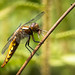 Female Broad Bodied Dragonfly (explored) (RayW101) Tags: