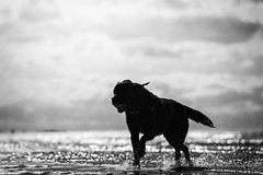 Late afternoon mono. (Marcus Legg) Tags: marcuslegg max monochrome blacklabradorretriever black labrador retriever running beach backlit sea bokeh water ball joy sunny summer canon eos 1dx ef70200mmf28lisii holkham