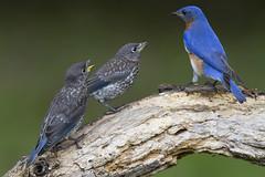 Eastern Bluebirds, juveniles with dad (AllHarts) Tags: juvenileeasternbluebirdswithdad backyardbirds memphistn naturescarousel ngc naturesspirit thesunshinegroup sunrays5