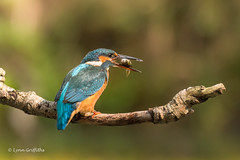 Kingfisher (Alcedo atthis) D50_3604.jpg (Mobile Lynn) Tags: people birds wild petewhieldon watermarked kingfisher nature aves bird chordata coraciiformes face faces fauna wildlife otterbourne england unitedkingdom gb coth specanimal coth5 ngc sunrays5 npc