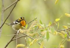 Blackburnian Warbler (kidbirder) Tags: