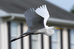 Great Egret 5-27-2017-142 (Scott Alan McClurg) Tags: aalba ardea ardeidae flickr animal back backyard bird bluesky flap flapping flight fly flying greategret land landing life nature naturephotography neighborhood portrait spring suburban urban white wild wildlife