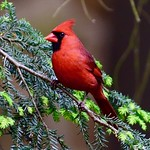 Cardinal in evergreen thumbnail