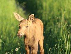 IMG_1573 (maarcinwu) Tags: moose wild canon 135mmf2l