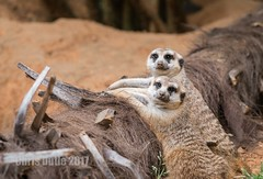 What? (montusurf) Tags: meerkat two pair expression look dallas zoo texas