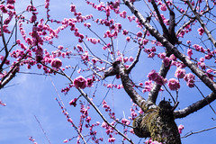 Blossom Sky (Hannah_Nieman) Tags: adventuresinjapan travel japan plum plumblossom tree nature kyoto