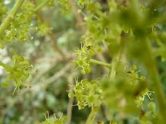 Schefflera digitata (tammoreichgelt) Tags: flowers green inflorescence araliaceae orokonui patete pate seven finger sevenfinger