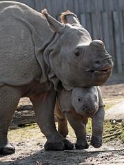 indian rhino Planckendael JN6A4214 (joankok) Tags: rhino rhinoceros planckendael indianrhino pansterneushoorn neushoorn mammal zoogdier dier animal asia azie