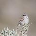 Sagebrush Sparrow [Explored 53117 #401]
