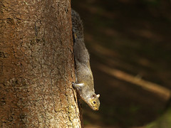 P1017839 (ajh_1990) Tags: rushmere stockgrove tree squirrel vertical verticality