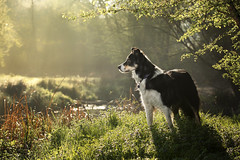 Misty morning (alfie-p) Tags: pet petphotography dog workingsheepdog bordercollie