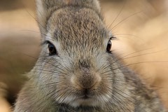 Young Rabbit    (The correct term is Kit or Kitten ) (GrahamParryWildlife) Tags: marsh grahamparrywildlife sigma 150600 sport 150 600 canon 7d mkii outdoor animal depth field mk2 uk kent rspb viewing photo flickr add new sunlight up blue dof kentwildlife dungeness rabbit cute cose sweet young tiny kit kitten