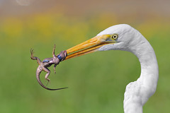 Squeezed by the neck! (bmse) Tags: western fence lizard great egret bolsa chica prey food hunt canon 7d2 400mm f56 l bmse salah baazizi wingsinmotion